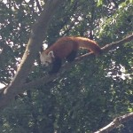 Another Red Panda