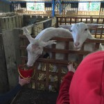 The goats were very hungry