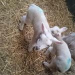 Cute newborn lambs