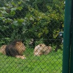 We saw some lions