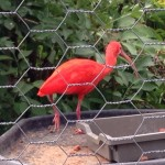 We saw this amazing scarlet ibis