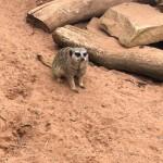 we saw some meerkats